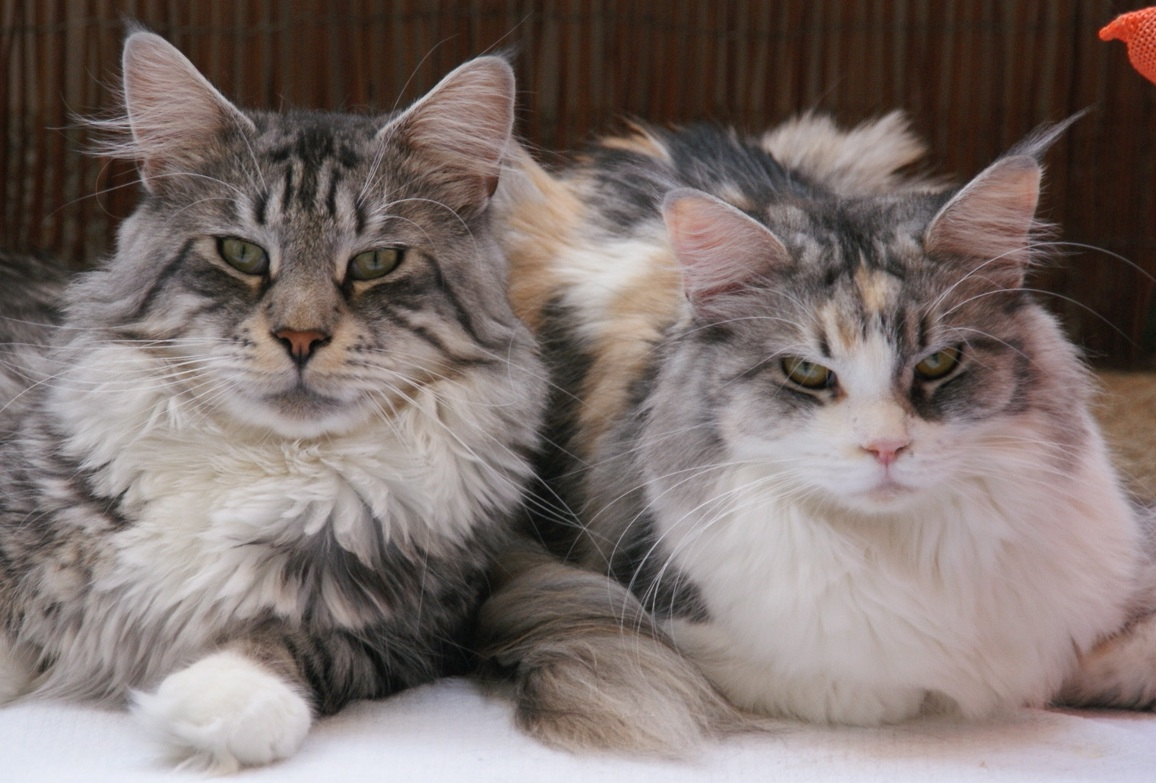 Phixius Star Maine Coon pictures